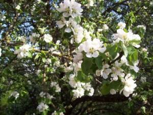 Măr înflorit la Casa Cireșarilor din Poiana Țapului